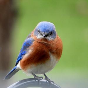 Bluebird 03