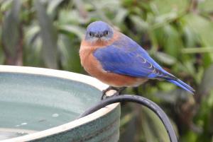 Bluebird 09