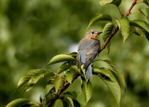Bluebird on branch 5x7