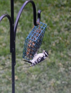 Downy woodpecker on feeder