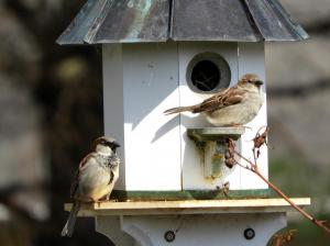 House sparrow couple