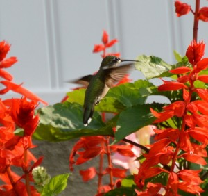 Hummingbird cropped