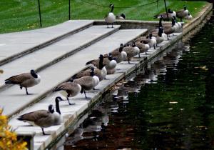 Longwood canada geese