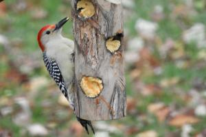 Red-bellied woodpecker 4x6