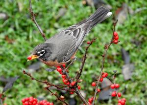 Robin with winterberry