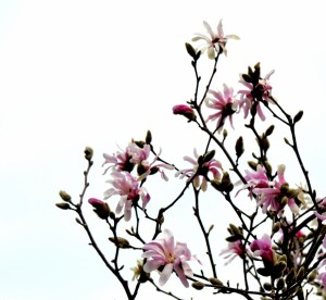 Magnolia nextdoor