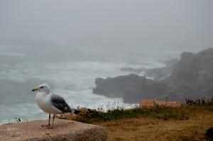 Acadia gull