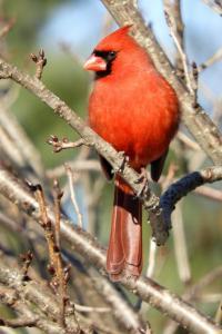 Cardinal 4x6