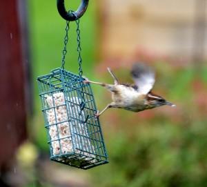 Carolina wren take-off