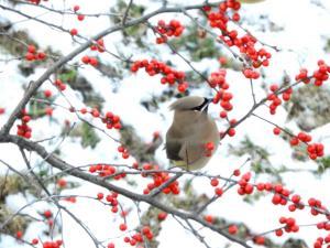 Cedar in winterberry 2