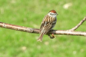 Chipping sparrow 3