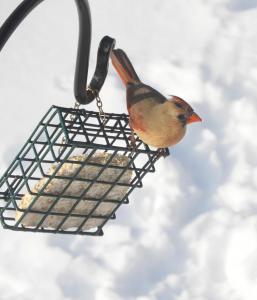Female cardinal 1