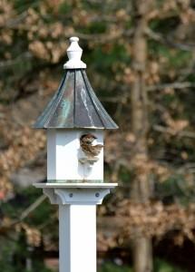 House sparrow tenants