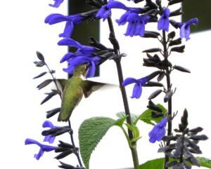 Hummingbird 8x10 ed