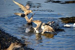 Lubec gulls