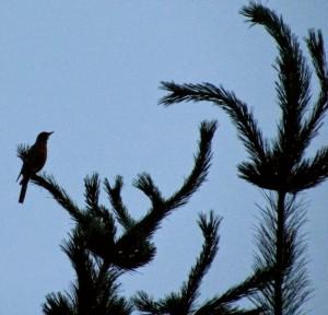 Perched on flex pine