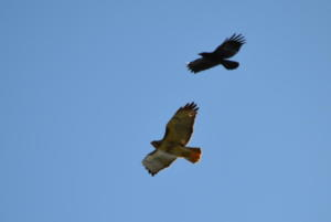 Red-tail and crow 2