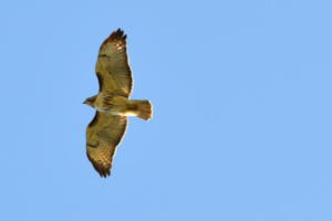 Red-tailed hawk close and good